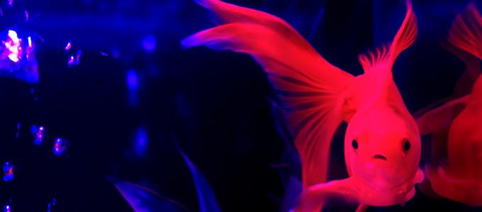 """【心理テスト】金魚に話しかけられたあなたの反応でわかる、""""あの""""時の反応!"""